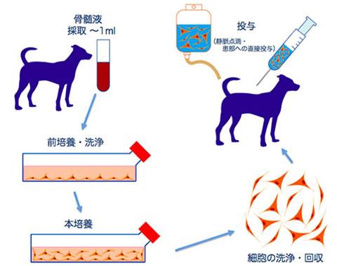 骨髄幹細胞療法(MSC療法)